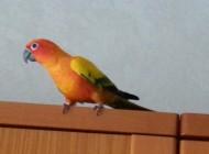 verso pappagallo
