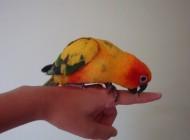 mordicchiare pappagallo